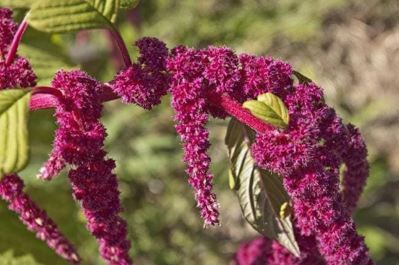 Амарант: опис видів та особливості вирощування рослини з насіння 5