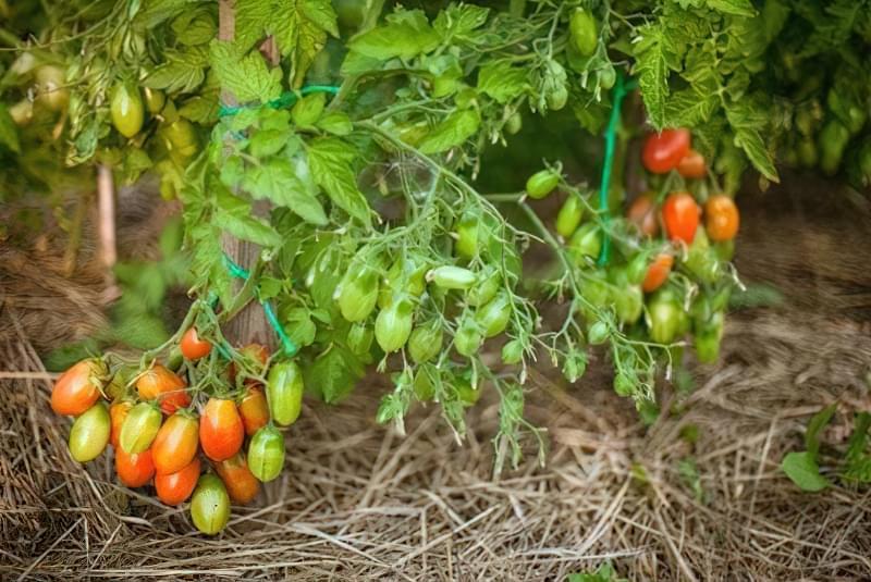 Чудовий томат «Чіо Чіо Сан»: опис сорту 2