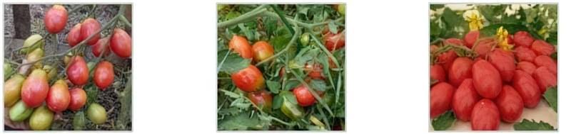 Чудовий томат «Чіо Чіо Сан»: опис сорту 3