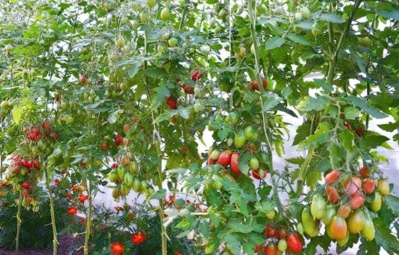 Чудовий томат «Чіо Чіо Сан»: опис сорту 4