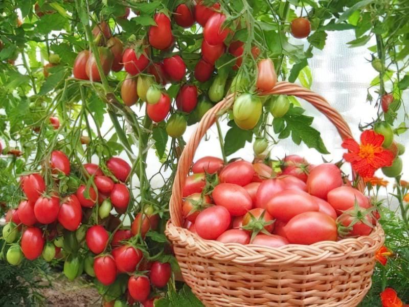Чудовий томат «Чіо Чіо Сан»: опис сорту 1