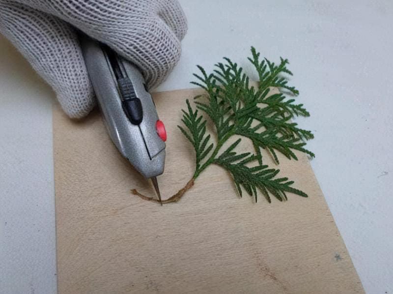 Основною перевагою розмноження хвойника в осінній період є можливість отримання повноцінної рослини через три роки