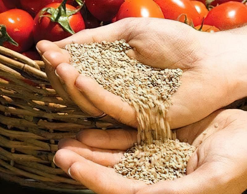 Як зібрати насіння помідор 5