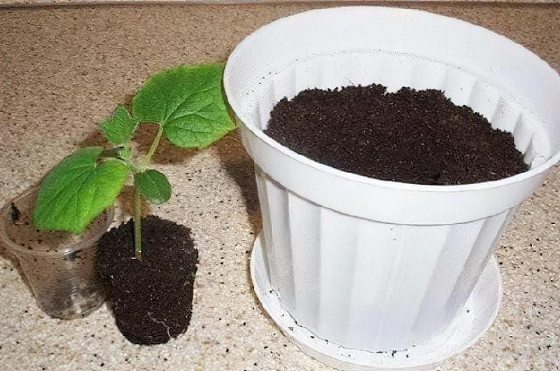 Чи можна виростити огірки на підвіконні чи балконі взимку? 11