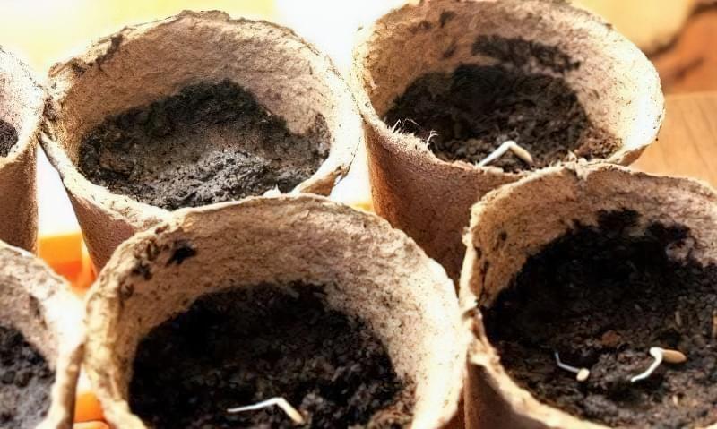 Чи можна виростити огірки на підвіконні чи балконі взимку? 4