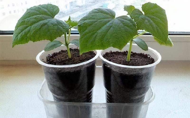 Чи можна виростити огірки на підвіконні чи балконі взимку? 5