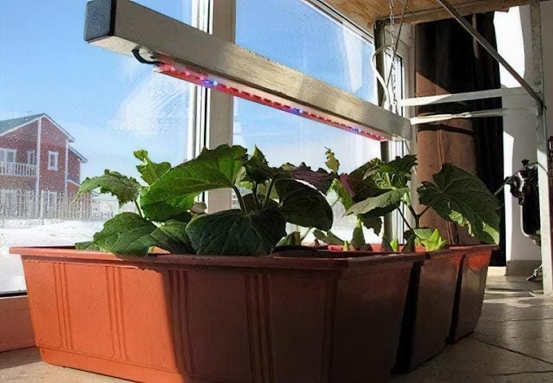 Чи можна виростити огірки на підвіконні чи балконі взимку? 6