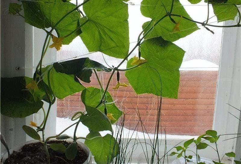Чи можна виростити огірки на підвіконні чи балконі взимку? 7