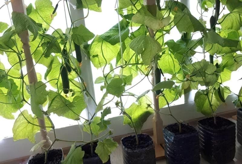 Чи можна виростити огірки на підвіконні чи балконі взимку? 10