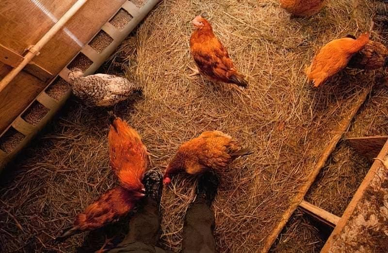 Спорудження зимового курника: планування, утеплення, обігрів 14