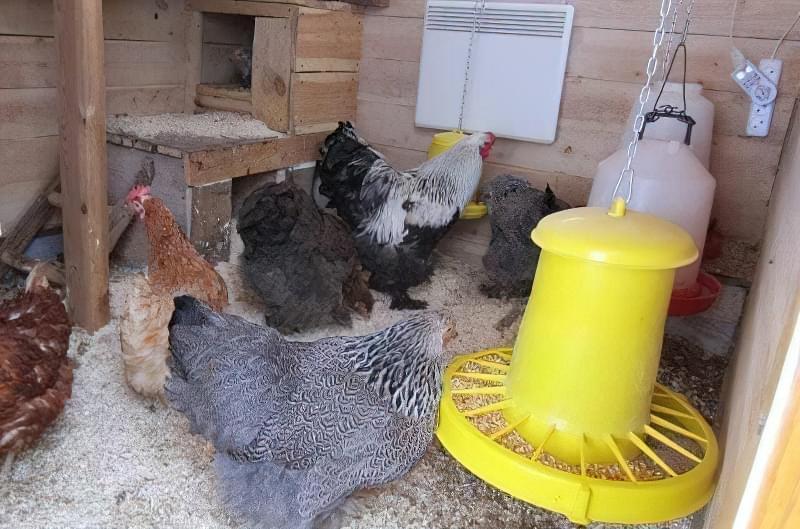 Спорудження зимового курника: планування, утеплення, обігрів 4