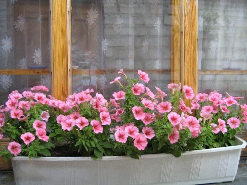 Квіти за вікном: кріплення, вибір, догляд 5