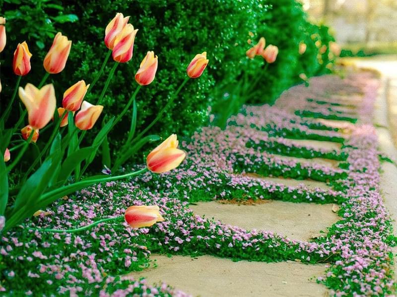 Стійкі рослини для доріжок та дитячих майданчиків 7